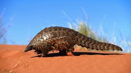 Pangolin Photo Download