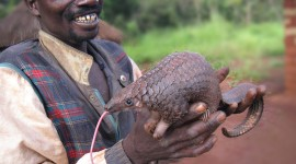 Pangolin Photo Free