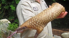 Pangolin Photo#1