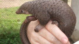 Pangolin Photo#4
