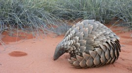 Pangolin Wallpaper Download
