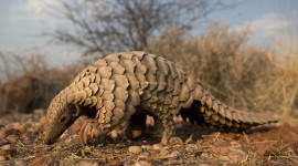 Pangolin Wallpaper Download Free
