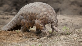 Pangolin Wallpaper For PC