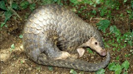 Pangolin Wallpaper Free