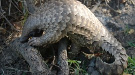 Pangolin Wallpaper Full HD