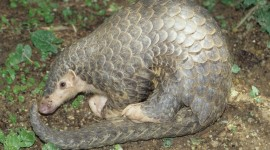 Pangolin Wallpaper Gallery