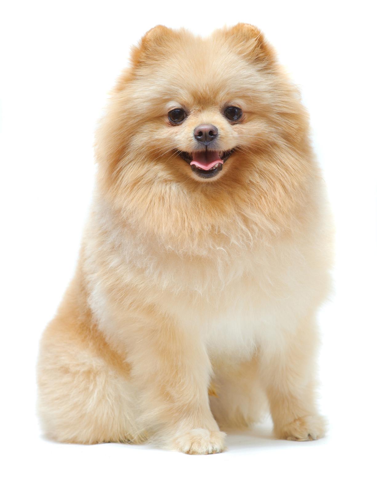 Pomeranian Spitz Wallpaper For IPhone