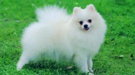 Pomeranian Spitz Wallpaper Free