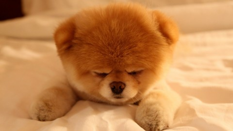 Pomeranian Spitz wallpapers high quality
