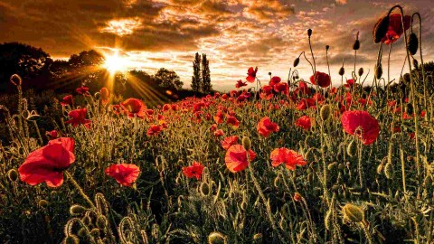 Poppy Fields wallpapers high quality