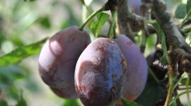 Prunes Pics