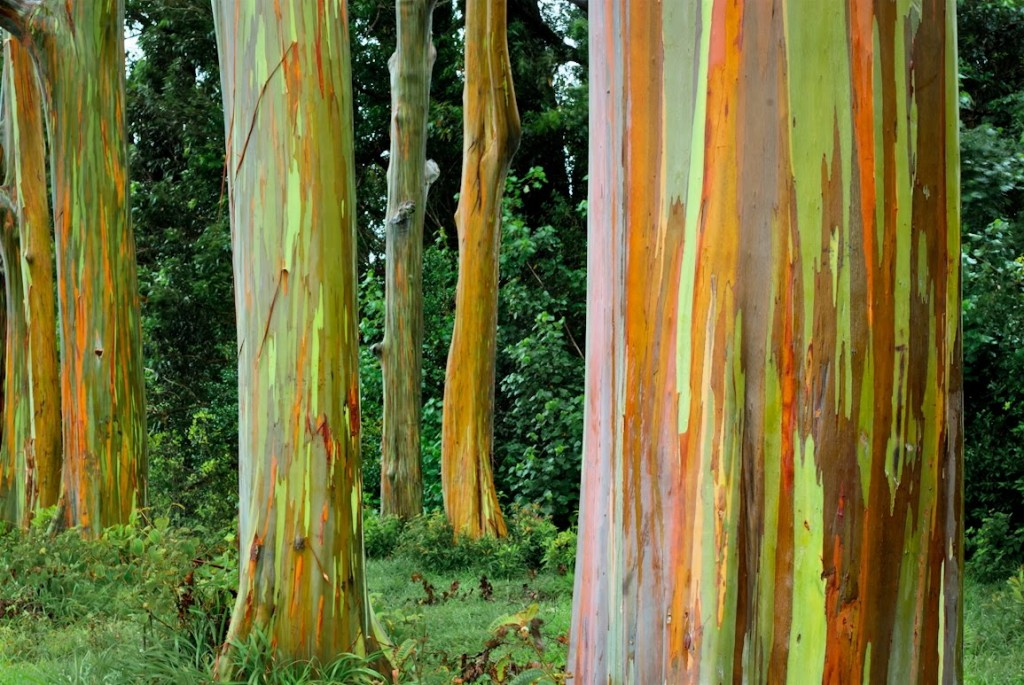 Rainbow Eucalyptus in Hawaii wallpapers HD