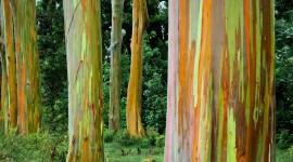 Rainbow Eucalyptus in Hawaii Best Wallpaper