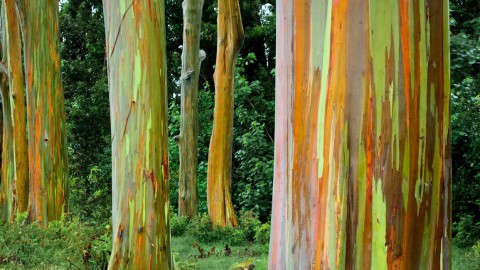 Rainbow Eucalyptus in Hawaii wallpapers high quality