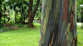 Rainbow Eucalyptus in Hawaii Photo