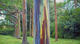 Rainbow Eucalyptus in Hawaii Photo Free