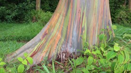 Rainbow Eucalyptus in Hawaii Photo#1