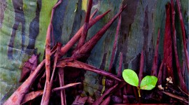 Rainbow Eucalyptus in Hawaii Photo#2