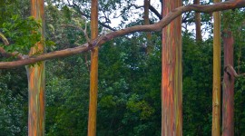 Rainbow Eucalyptus in Hawaii Pics