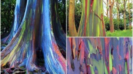 Rainbow Eucalyptus in Hawaii Pics#1
