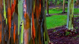 Rainbow Eucalyptus in Hawaii Wallpaper