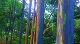 Rainbow Eucalyptus in Hawaii Wallpaper For IPhone