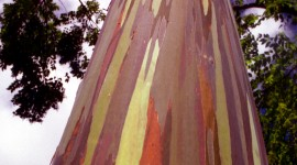 Rainbow Eucalyptus in Hawaii Wallpaper For Mobile
