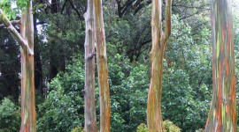 Rainbow Eucalyptus in Hawaii Wallpaper For PC