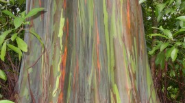 Rainbow Eucalyptus in Hawaii Wallpaper Free