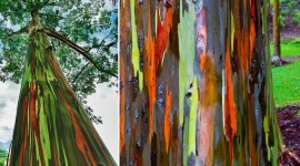 Rainbow Eucalyptus in Hawaii Wallpaper Full HD