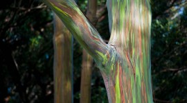 Rainbow Eucalyptus in Hawaii Wallpaper Gallery