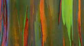 Rainbow Eucalyptus in Hawaii Wallpaper#1