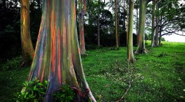 Rainbow Eucalyptus in Hawaii Wallpaper#2