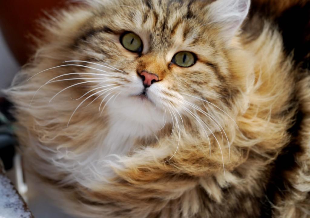 Siberian Cat wallpapers HD