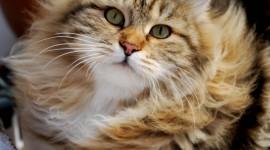 Siberian Cat Best Wallpaper