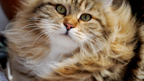 Siberian Cat wallpapers high quality