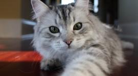 Siberian Cat Desktop Wallpaper