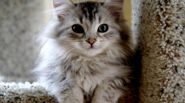 Siberian Cat Desktop Wallpaper For PC
