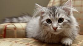 Siberian Cat Photo Download