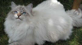 Siberian Cat Photo Free