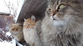 Siberian Cat Wallpaper 1080p