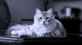Siberian Cat Wallpaper