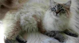 Siberian Cat Wallpaper Download
