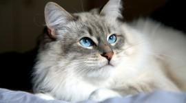Siberian Cat Wallpaper Download#1