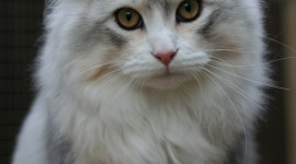 Siberian Cat Wallpaper For Android#1