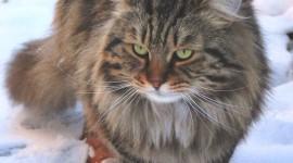 Siberian Cat Wallpaper For IPhone#1
