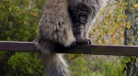 Siberian Cat Wallpaper For IPhone#2