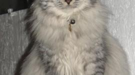 Siberian Cat Wallpaper For Mobile
