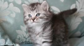 Siberian Cat Wallpaper For PC