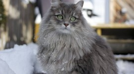 Siberian Cat Wallpaper Free